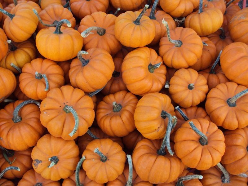 Best Places To Buy Pumpkins in the Denver Area