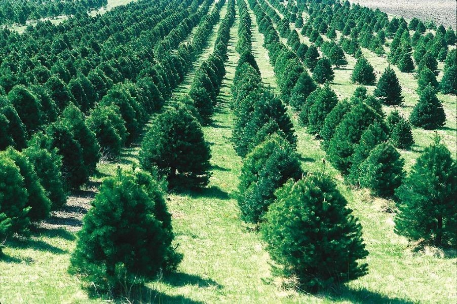 Best places to cut down your own tree in Kansas City - AXS