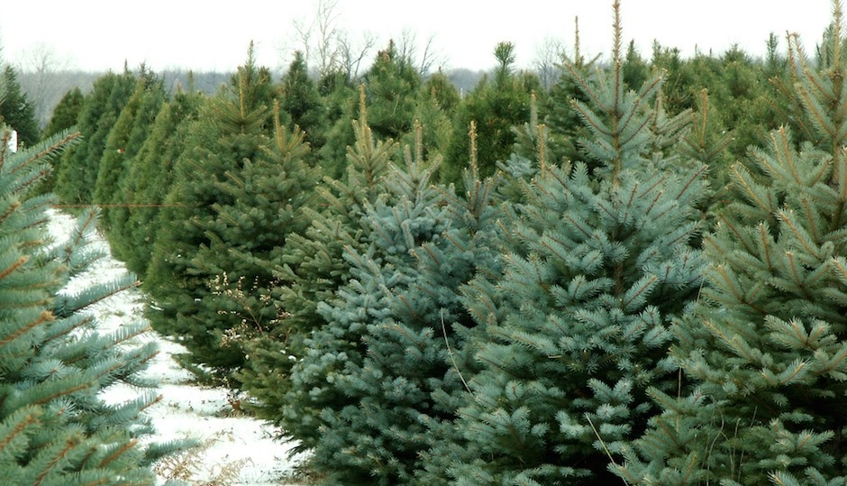 Best places in Philadelphia to cut your own Christmas Tree